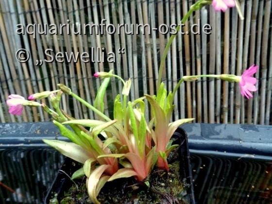 Rosenprimel auch Sumpfprimel  (Primula rosea)