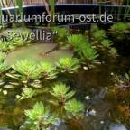 Rotstengeliges Tausendblatt (Myriophyllum  aquaticum) 'Red Stem'