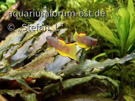 Aphyosemion gabunense marginatum