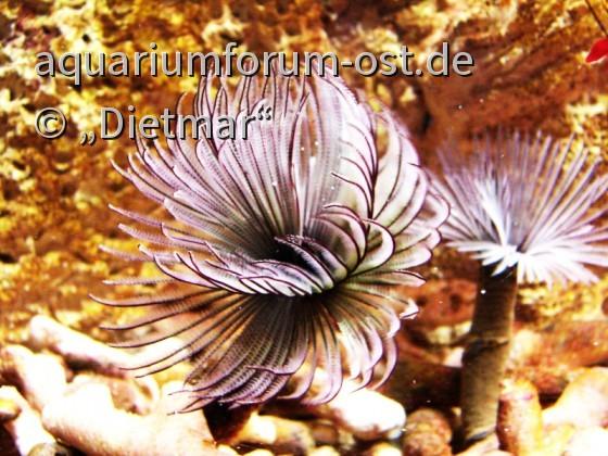 Röhrenwurm Familie Sabellidae