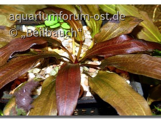 Echinodorus 'Regine Hildebrandt'