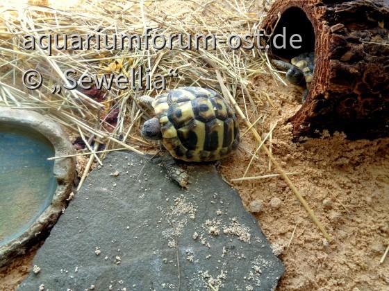Griechische Landschildkröten (Testudo hermanni boettgeri)