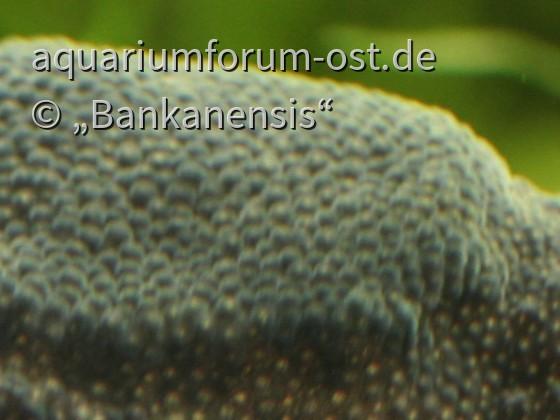 Zwergwabenkröte: Eier im Rücken