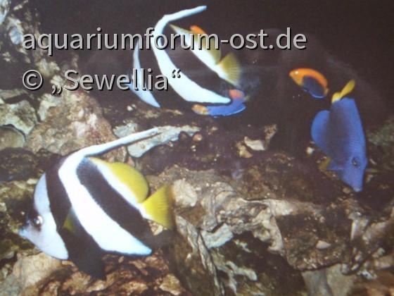 Heniochus acuminatus - im Erlebnispark Meeresaquarium in Zella-Mehlis