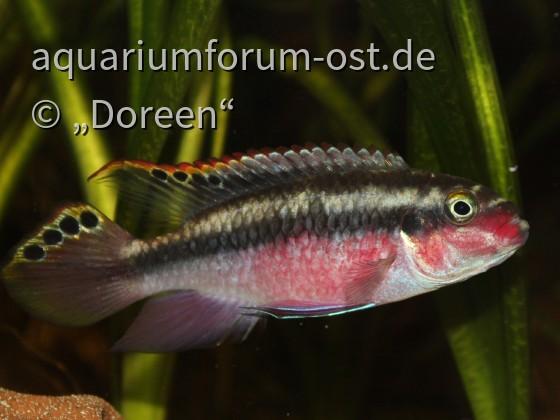Pelvicachromis pulcher - male
