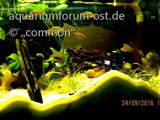 Neolamprologus multifasciatus, Vielstreifen-Schneckenbuntbarsch