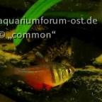 Rote von Rio ,RvR, Hyphessobrycon flammeus