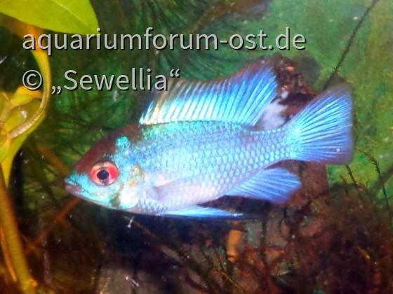 "Südamerikanischer Schmetterlingsbuntbarsch ""Electric Blue"" Male (Microgeophagus ramirezi)"