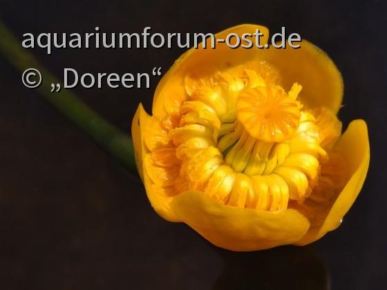 Blüte einer Teichrose - Nuphar lutea