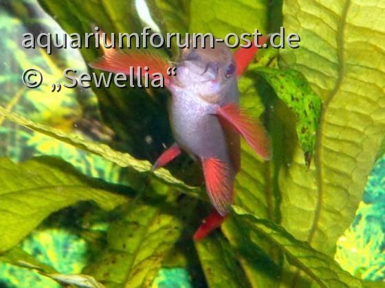 Grüner Fransenlipper (Epalzeorhynchos frenatum)