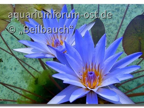 Blaue Seerose im Park der Villa Taranto in Verbania Italien.