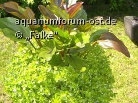 Echinodorus und Bacopa in Freilandkultur