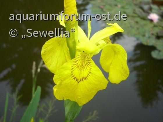 Blüte Gelbe Sumpfschwertlilie (Iris pseudacorus)