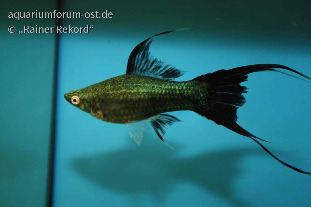 """Xiphophorus hellerii, Lyra - Weibchen  der Zuchtform """"Grüner Alpha"""" des Züchter Jiri Hasmann aus Pilsen 2010"""