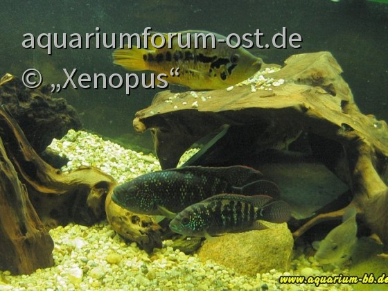 Rocio octofasicatum