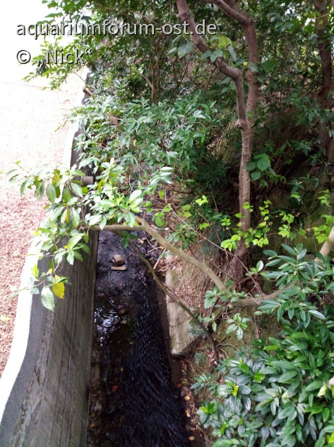 Ficus septica
