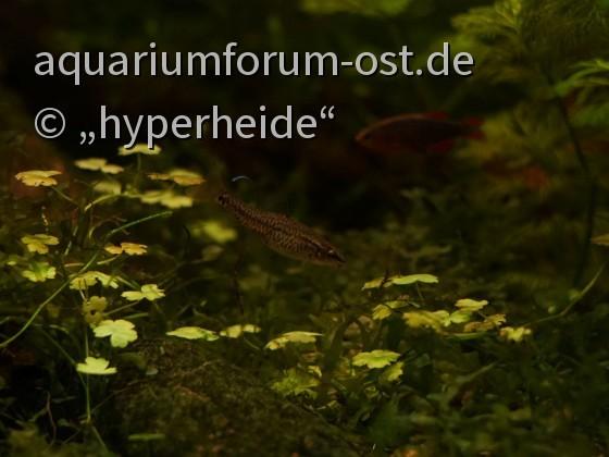 Zwergschmerle, Yunnanilus sp. rosy, Weibchen