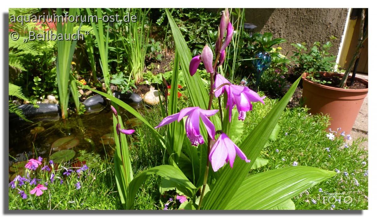Die Japanorchidee (Bletilla striata) am Teichrand ist bedingt winterhart