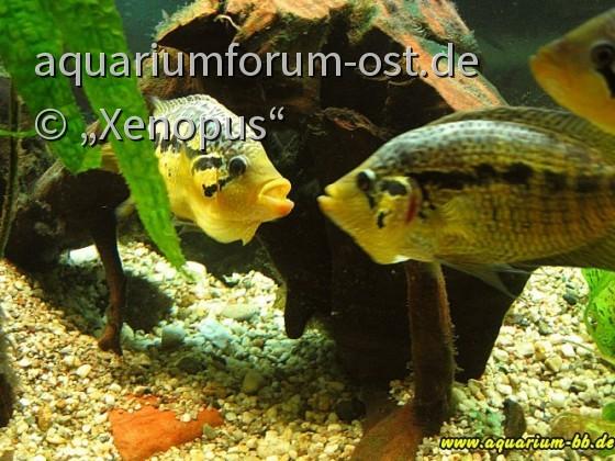 Parachromis loisellei - 2 Männchen
