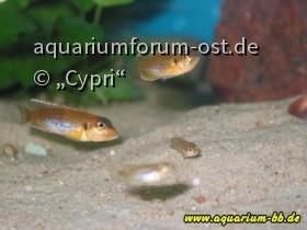 "Lamprologus ocellatus ""Gold"" Familie"