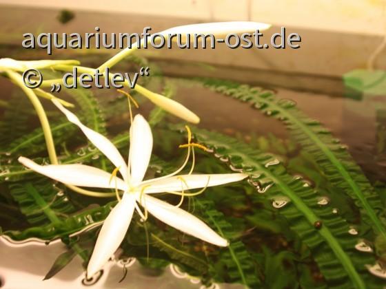Crinum natans, Einzelblütendurchmesser 12 cm