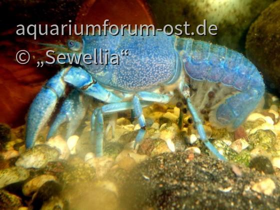 Blauer Floridakrebs (Procambarus alleni) trägt Eier
