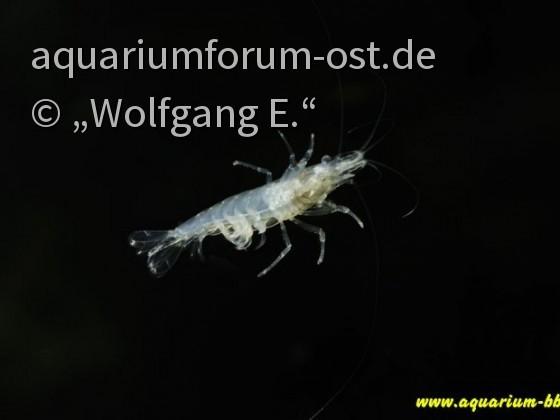 "Neocaridina. cf. Zhangjiajiensis ""White Pearl"""