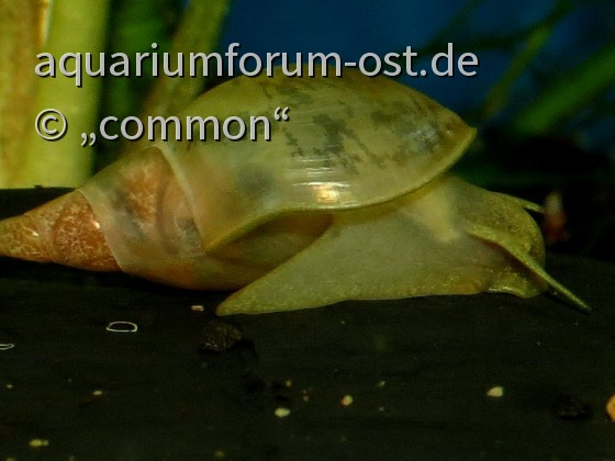 Spitzschlammschnecke, Lymnaea stagnalis
