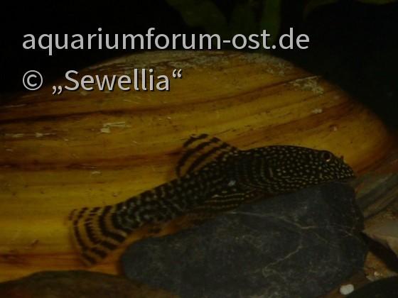 Sewellia sp. spotted mit aufgerichteter Rückenflosse