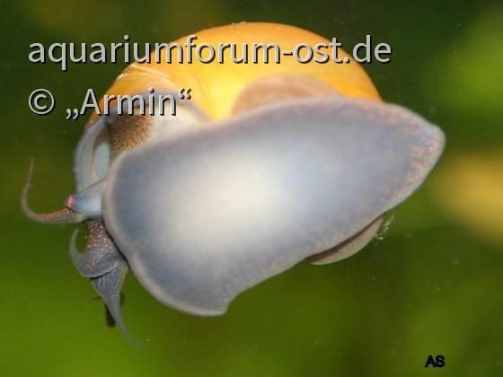 Meine Schönheitskönigin / Pomacea diffusa