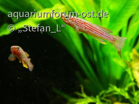 Aphyosemion ottogartneri, 2 M