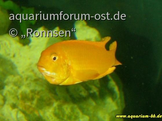 Melanochromis johannii Weibchen mit Eier im Maul