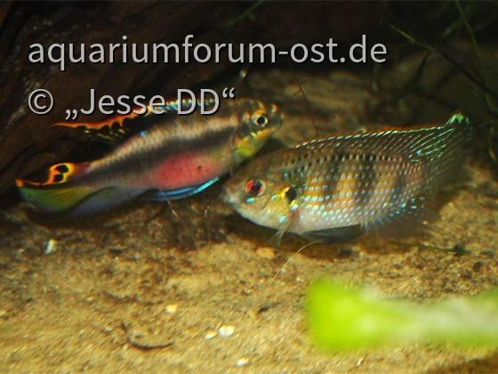 Revierkampf Pelvicachromis vs. Anomalochromis 2