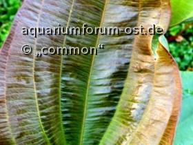 Echinodorus RolfNolting,  Blatt